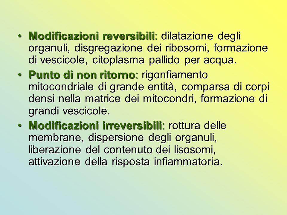 Modificazioni reversibili: dilatazione degli organuli, disgregazione dei ribosomi, formazione di vescicole, citoplasma pallido per acqua.
