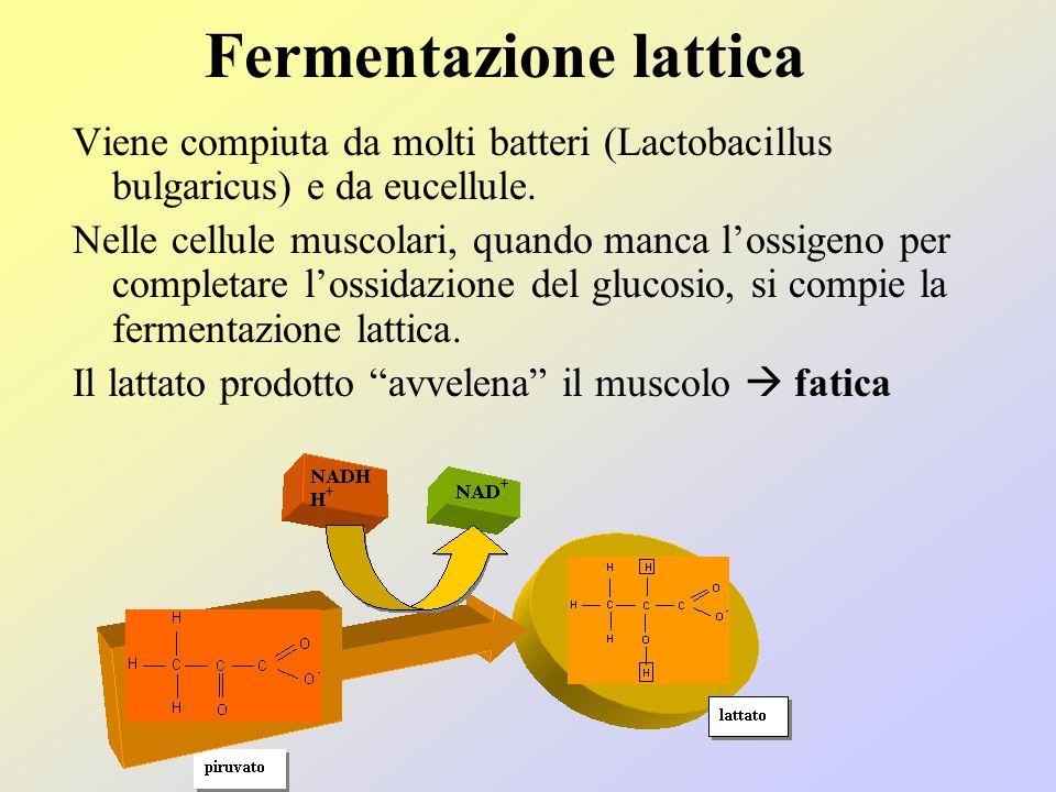 Fermentazione lattica
