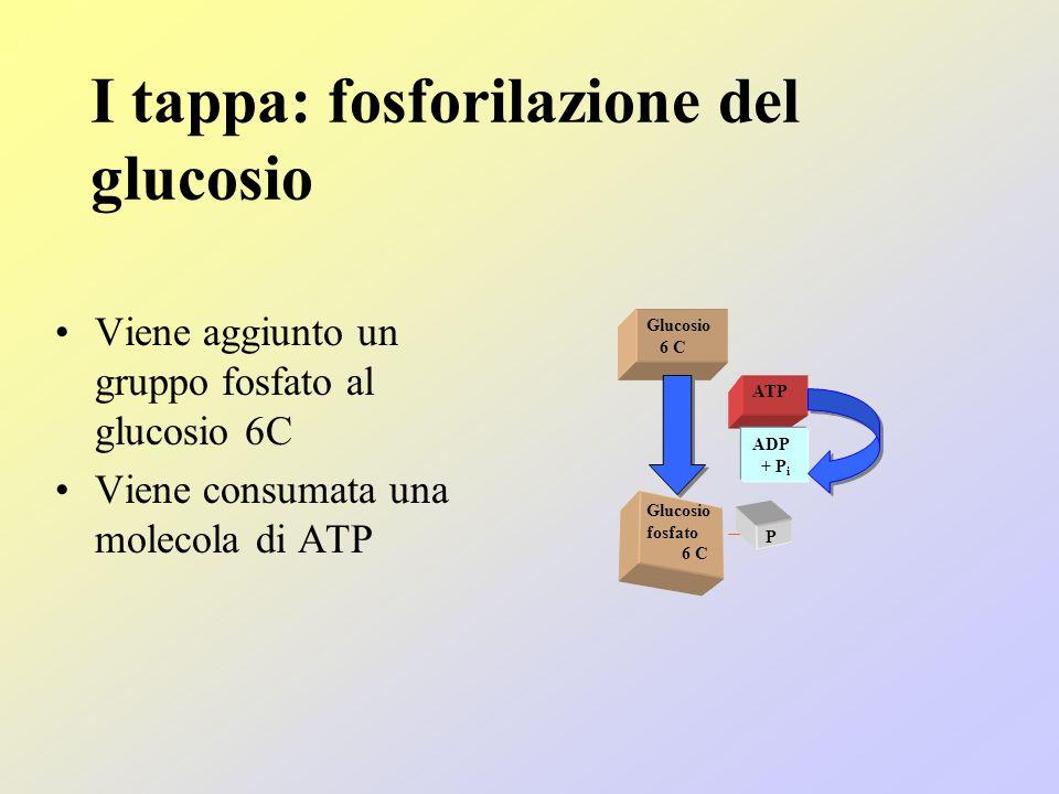 I tappa: fosforilazione del glucosio