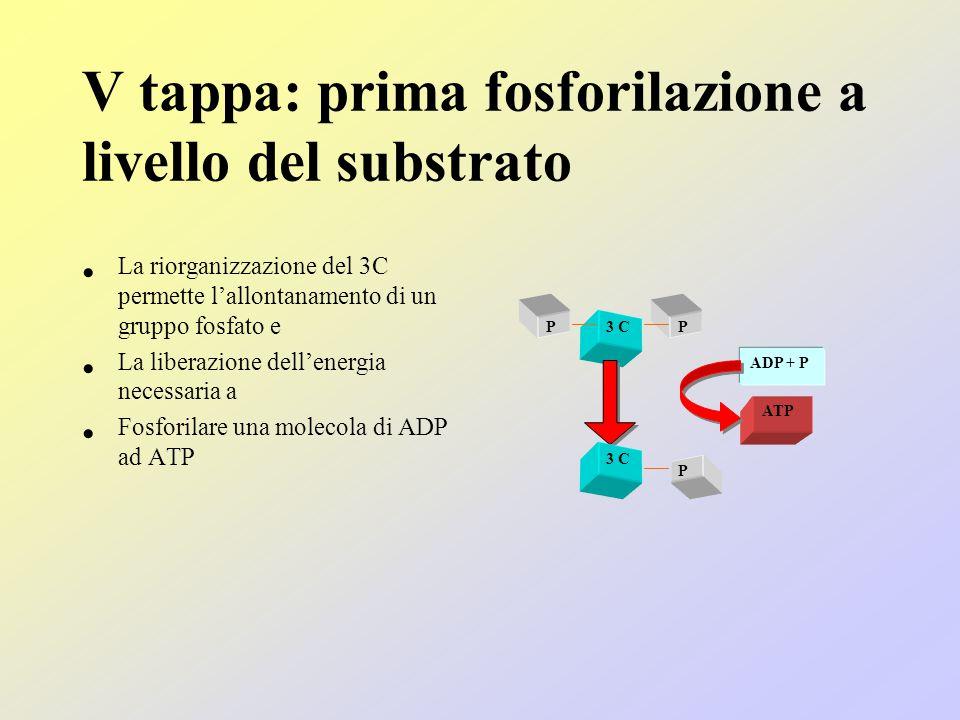 V tappa: prima fosforilazione a livello del substrato