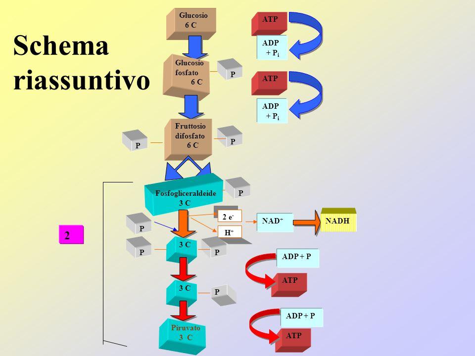 Schema riassuntivo 2 Glucosio 6 C ATP ADP + Pi Glucosio fosfato 6 C P