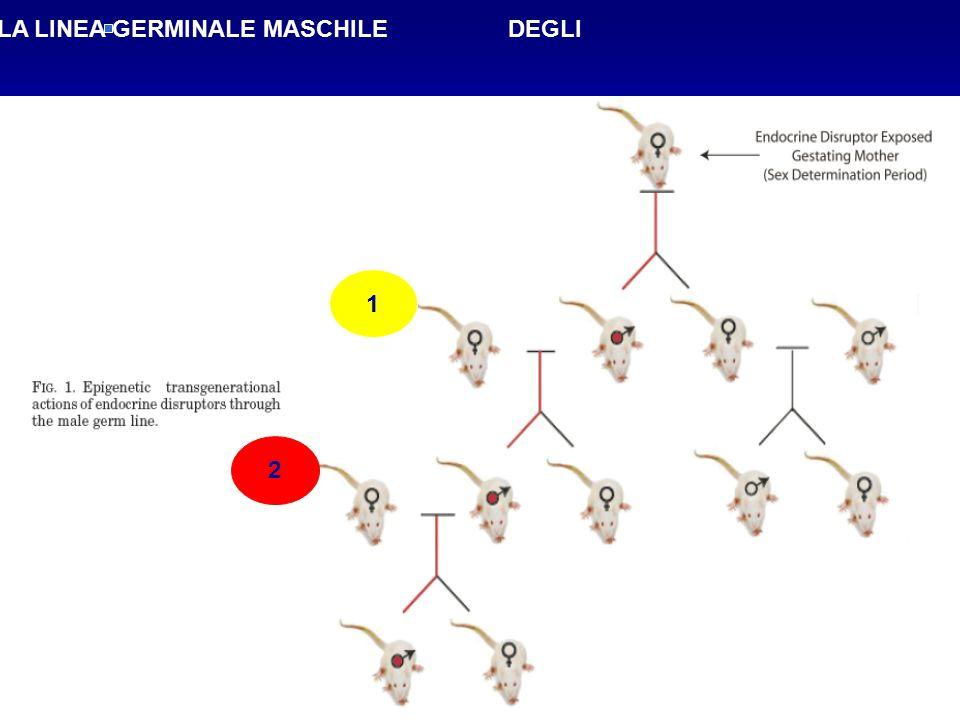 EFFETTI TRANSGENERAZIONALI ATTRAVERSO LA LINEA GERMINALE MASCHILE DEGLI DEGLI ENDOCRIN DISRUPOTORS