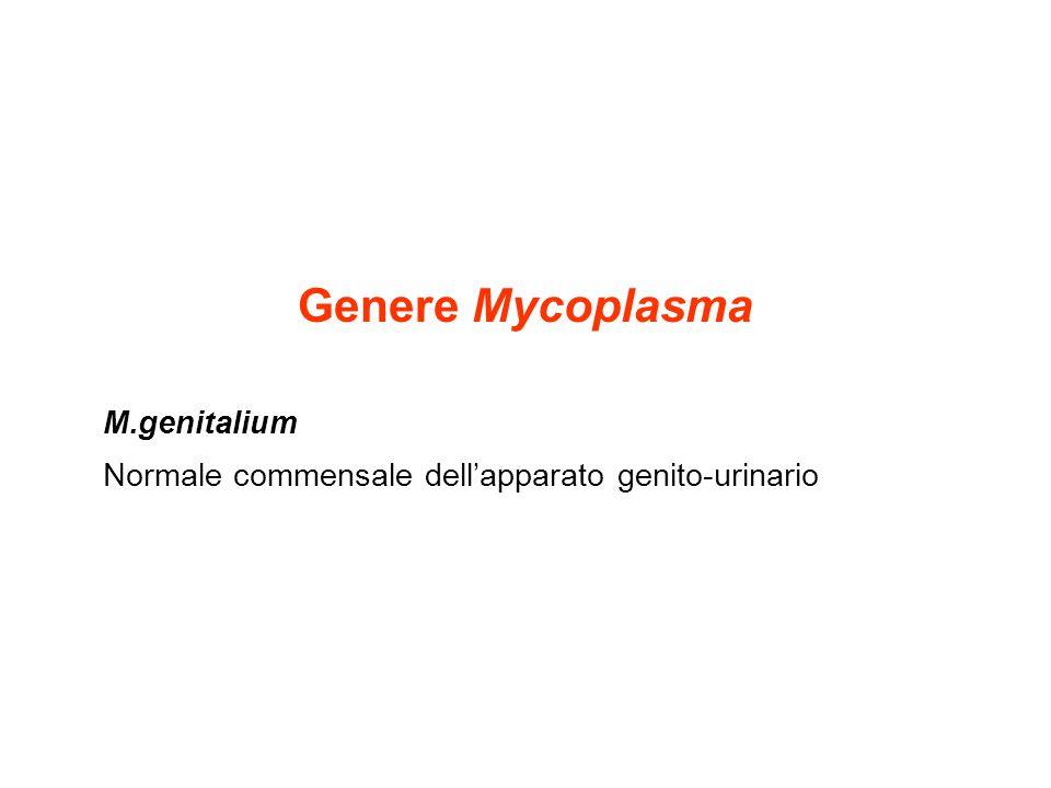 Genere Mycoplasma M.genitalium