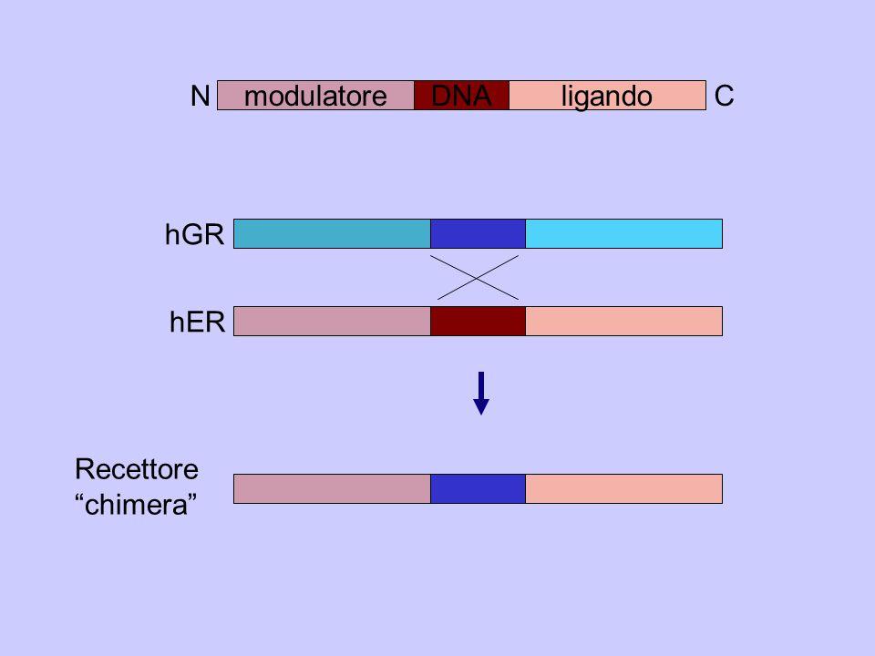 N C modulatore DNA ligando hGR hER Recettore chimera