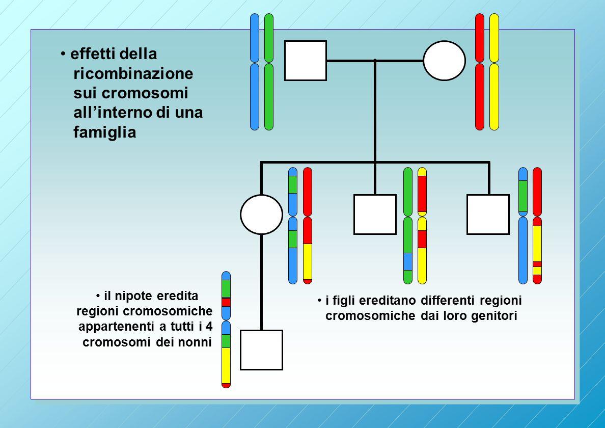 i figli ereditano differenti regioni cromosomiche dai loro genitori