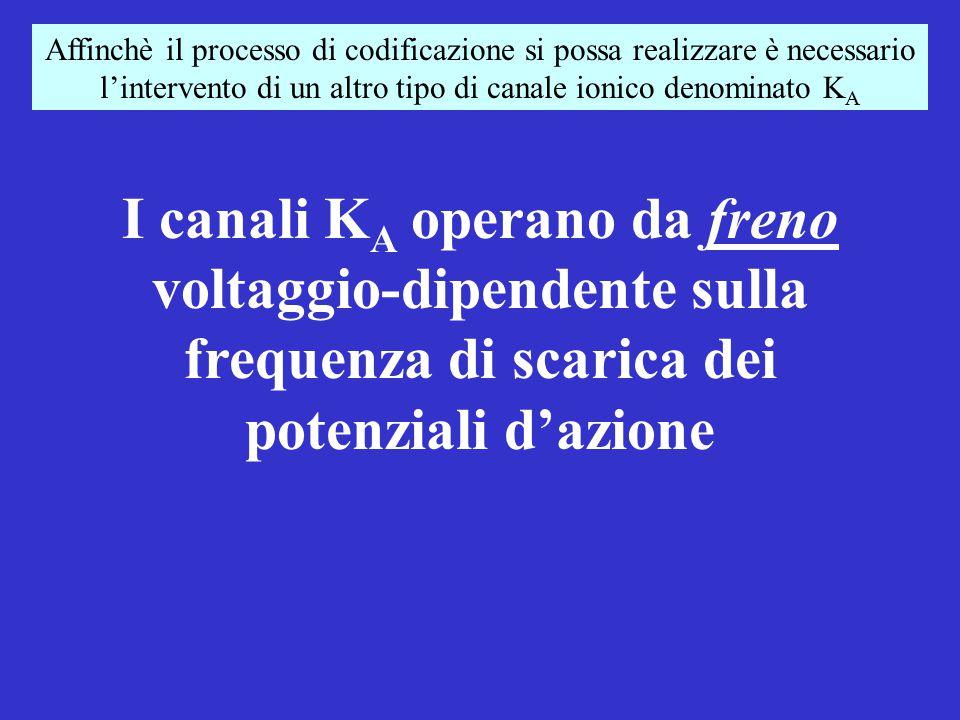 Affinchè il processo di codificazione si possa realizzare è necessario l'intervento di un altro tipo di canale ionico denominato KA