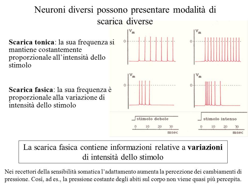 Neuroni diversi possono presentare modalità di scarica diverse