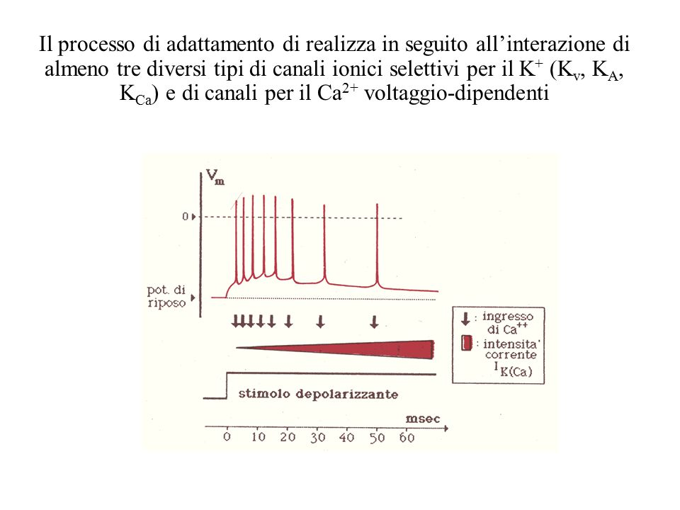 Il processo di adattamento di realizza in seguito all'interazione di almeno tre diversi tipi di canali ionici selettivi per il K+ (Kv, KA, KCa) e di canali per il Ca2+ voltaggio-dipendenti