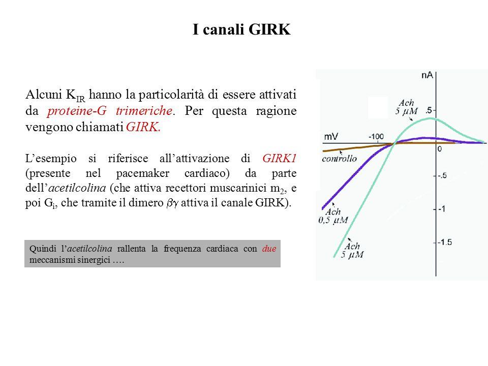 I canali GIRK Alcuni KIR hanno la particolarità di essere attivati da proteine-G trimeriche. Per questa ragione vengono chiamati GIRK.