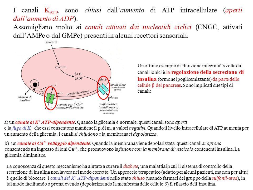 I canali KATP, sono chiusi dall'aumento di ATP intracellulare (aperti dall'aumento di ADP).
