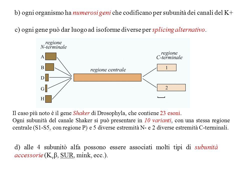 b) ogni organismo ha numerosi geni che codificano per subunità dei canali del K+
