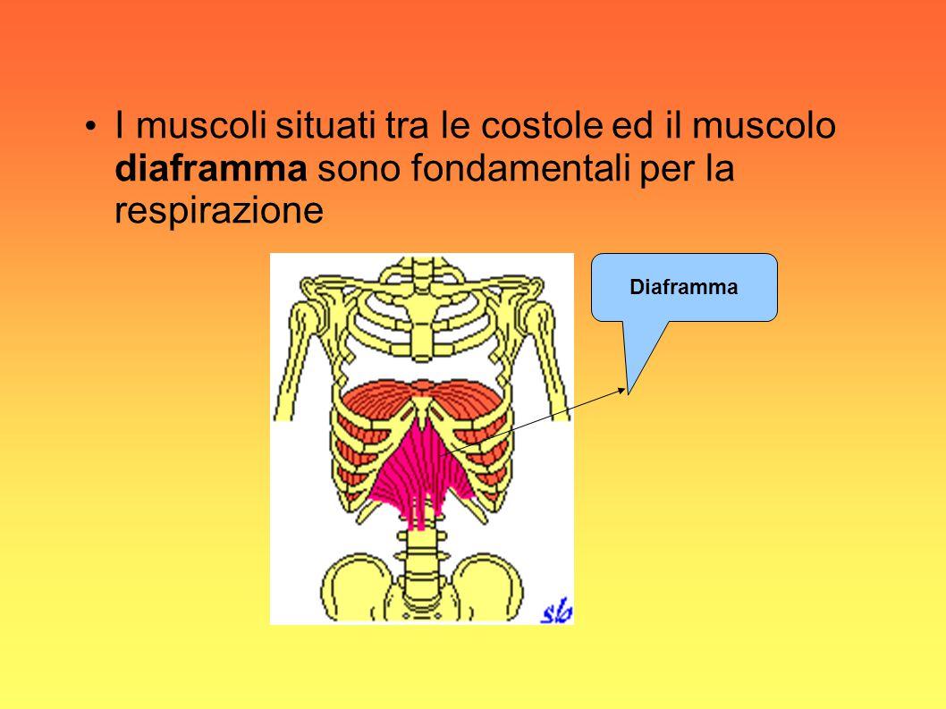 I muscoli situati tra le costole ed il muscolo diaframma sono fondamentali per la respirazione