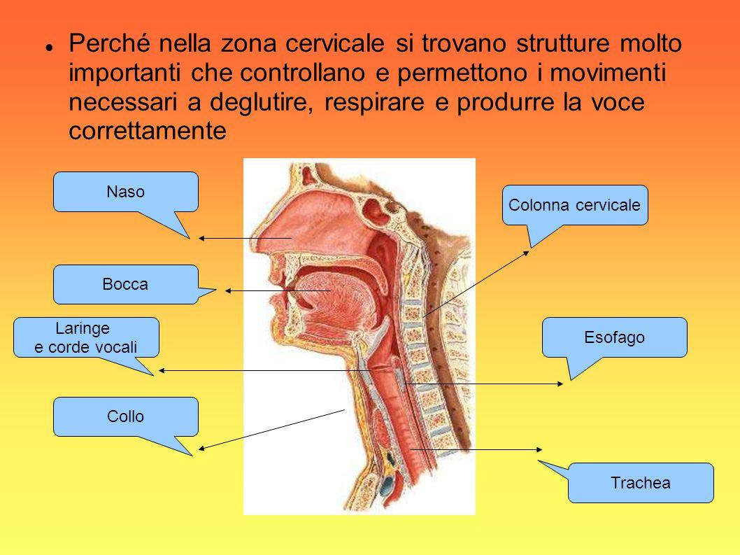 Perché nella zona cervicale si trovano strutture molto importanti che controllano e permettono i movimenti necessari a deglutire, respirare e produrre la voce correttamente
