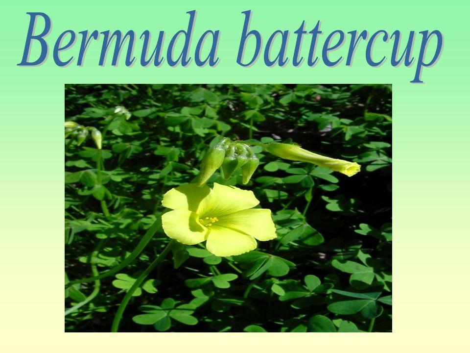Bermuda battercup
