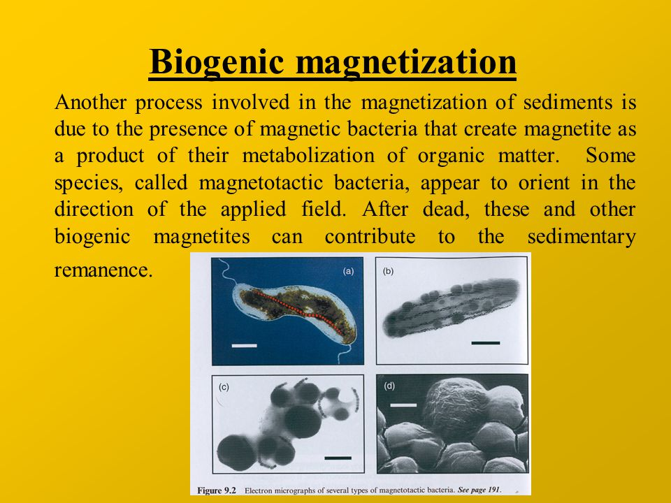 Biogenic magnetization