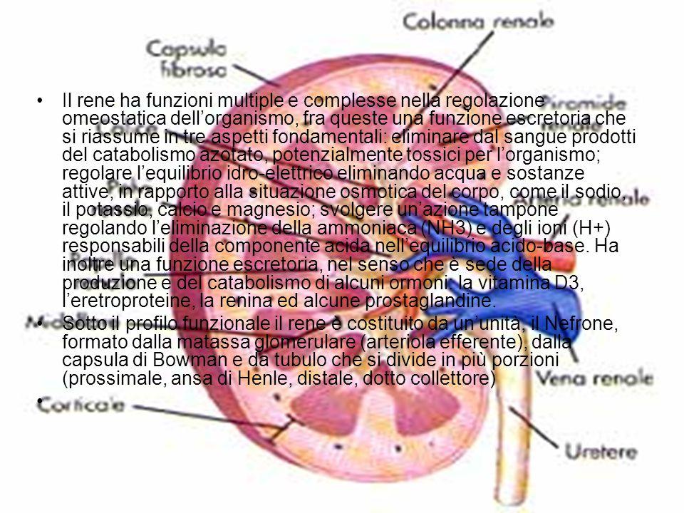 Il rene ha funzioni multiple e complesse nella regolazione omeostatica dell'organismo, fra queste una funzione escretoria che si riassume in tre aspetti fondamentali: eliminare dal sangue prodotti del catabolismo azotato, potenzialmente tossici per l'organismo; regolare l'equilibrio idro-elettrico eliminando acqua e sostanze attive, in rapporto alla situazione osmotica del corpo, come il sodio, il potassio, calcio e magnesio; svolgere un'azione tampone regolando l'eliminazione della ammoniaca (NH3) e degli ioni (H+) responsabili della componente acida nell'equilibrio acido-base. Ha inoltre una funzione escretoria, nel senso che è sede della produzione e del catabolismo di alcuni ormoni: la vitamina D3, l'eretroproteine, la renina ed alcune prostaglandine.