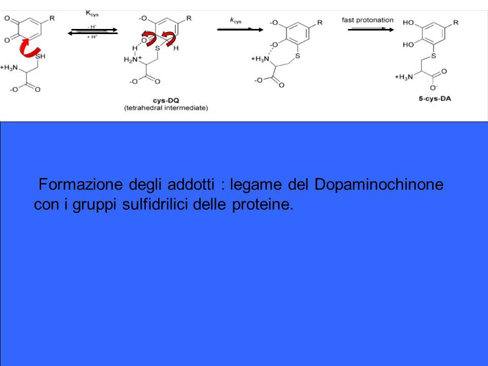 Formazione degli addotti : legame del Dopaminochinone con i gruppi sulfidrilici delle proteine.