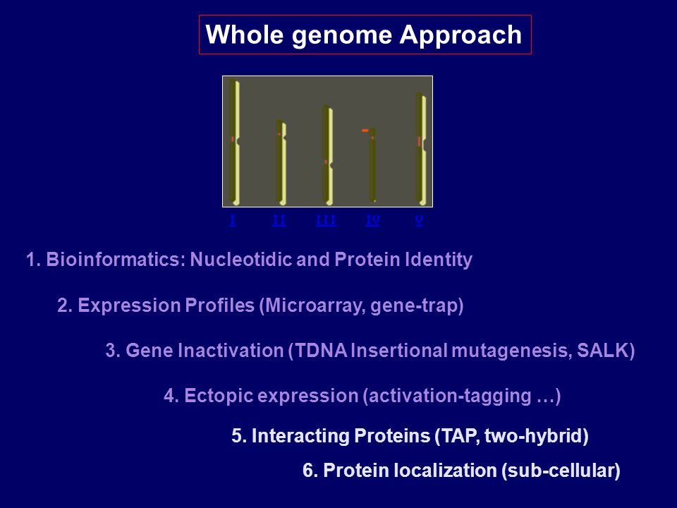 Whole genome Approach 1. Bioinformatics: Nucleotidic and Protein Identity. 2. Expression Profiles (Microarray, gene-trap)