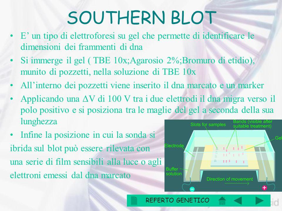 SOUTHERN BLOT E' un tipo di elettroforesi su gel che permette di identificare le dimensioni dei frammenti di dna.