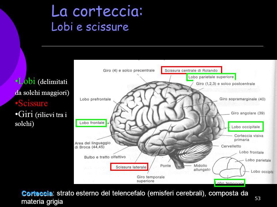 La corteccia: Lobi e scissure