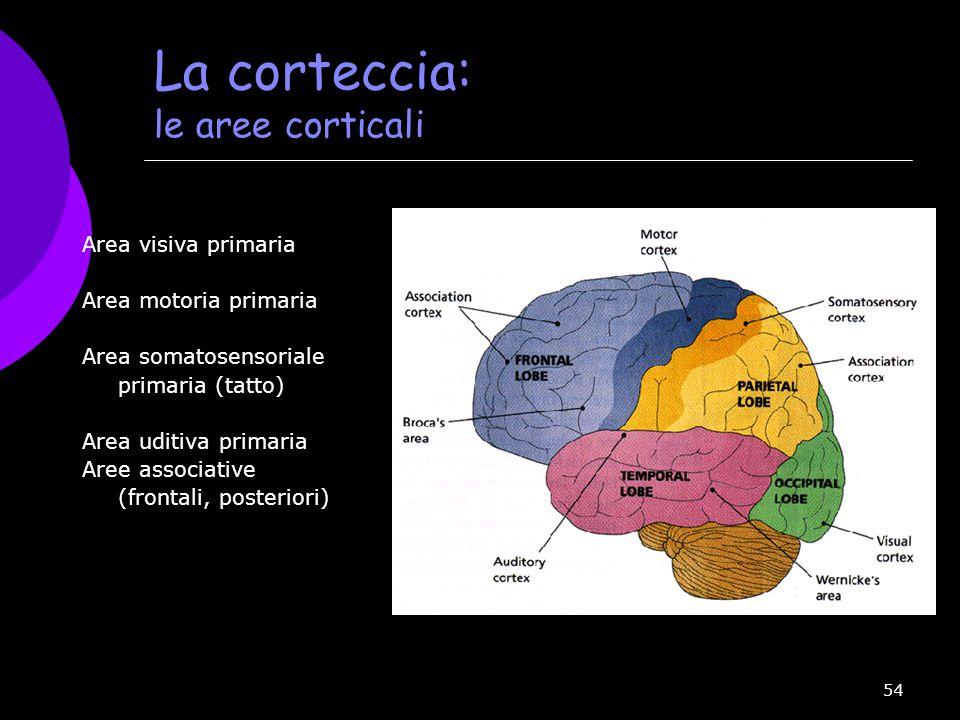 La corteccia: le aree corticali