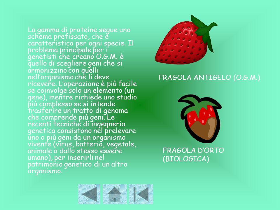 FRAGOLA ANTIGELO (O.G.M.)