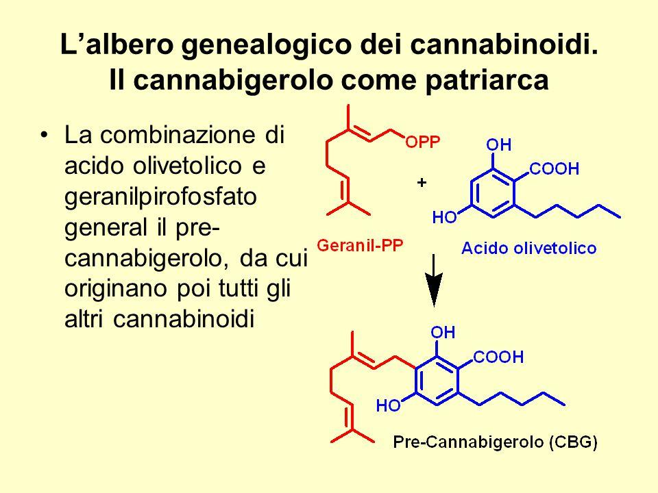 L'albero genealogico dei cannabinoidi. Il cannabigerolo come patriarca