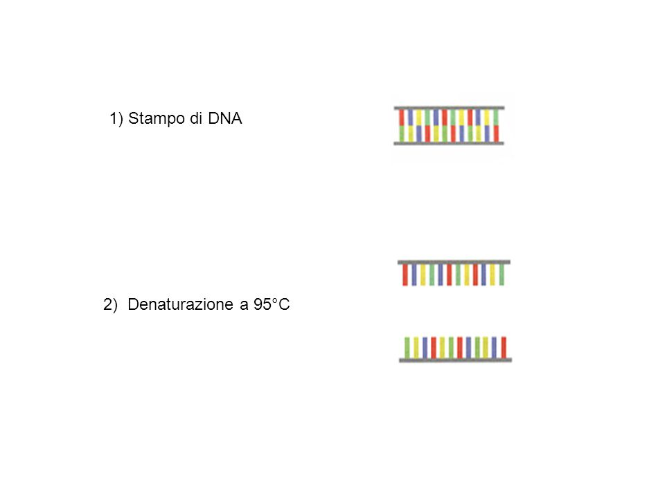 1) Stampo di DNA 2) Denaturazione a 95°C
