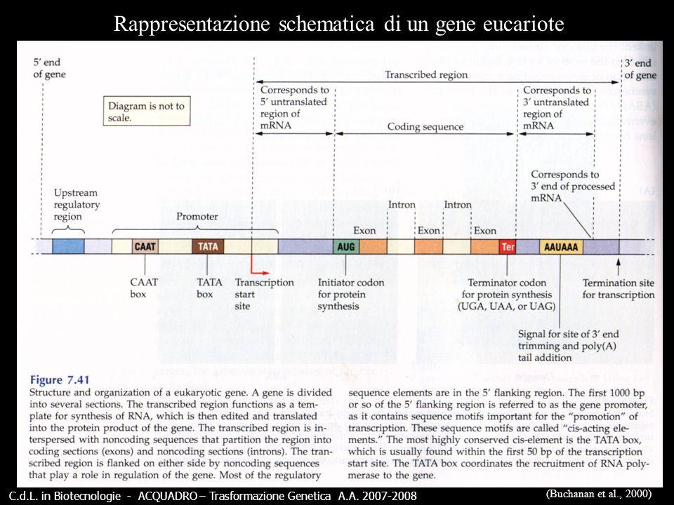Rappresentazione schematica di un gene eucariote