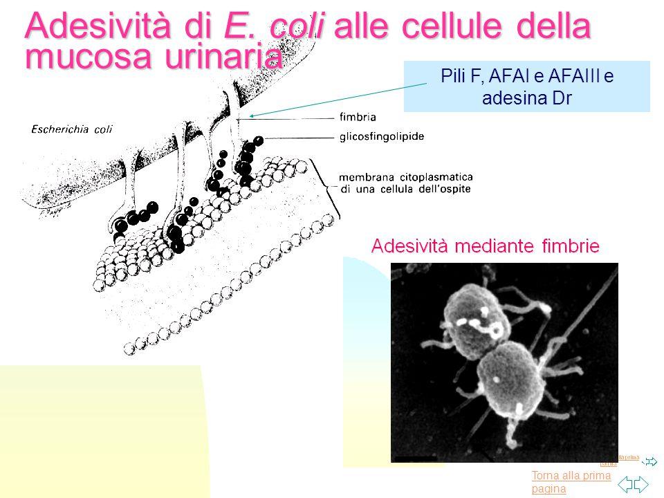 Adesività di E. coli alle cellule della mucosa urinaria