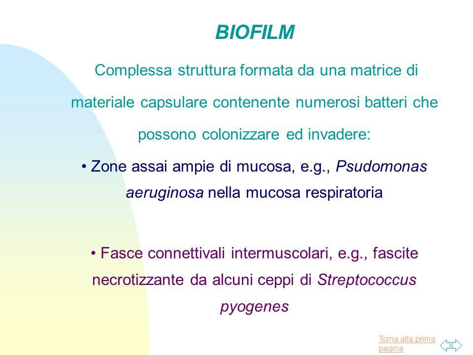 BIOFILM Complessa struttura formata da una matrice di materiale capsulare contenente numerosi batteri che possono colonizzare ed invadere: