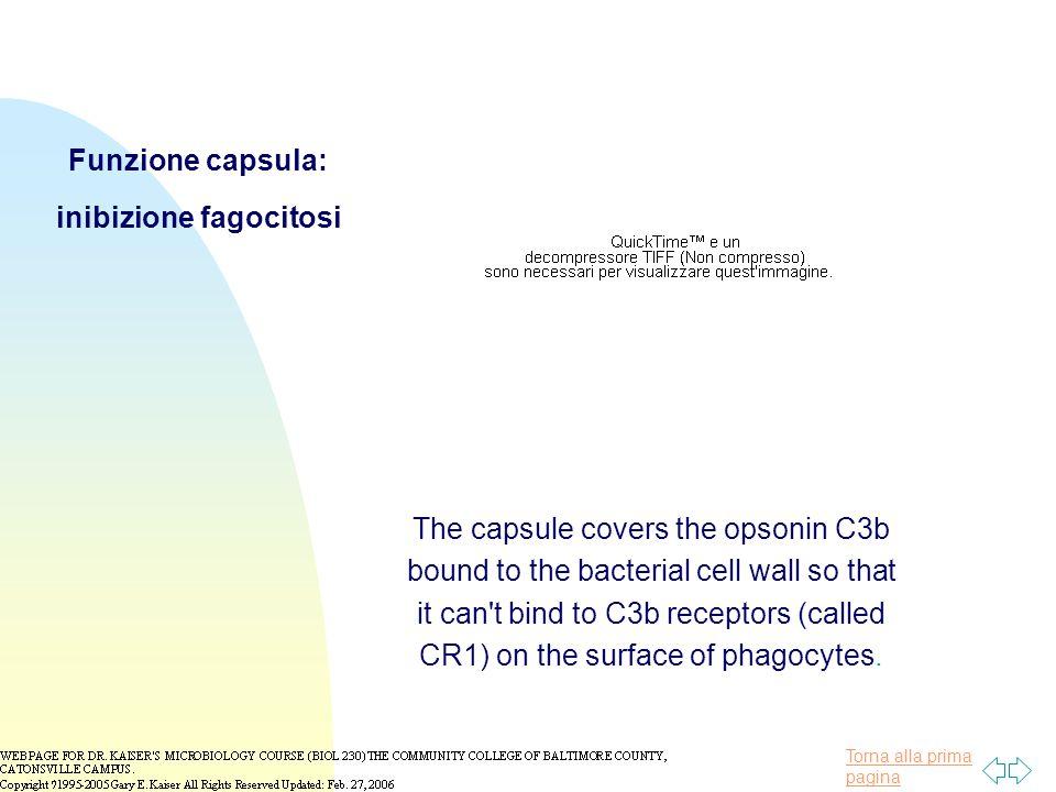 Funzione capsula: inibizione fagocitosi