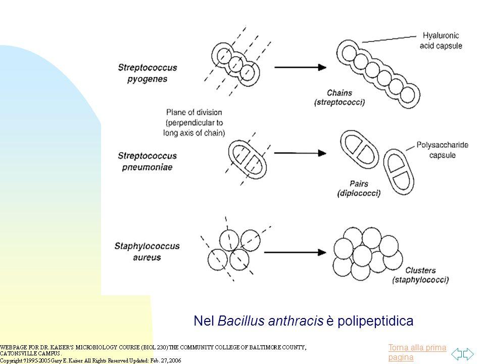 Nel Bacillus anthracis è polipeptidica