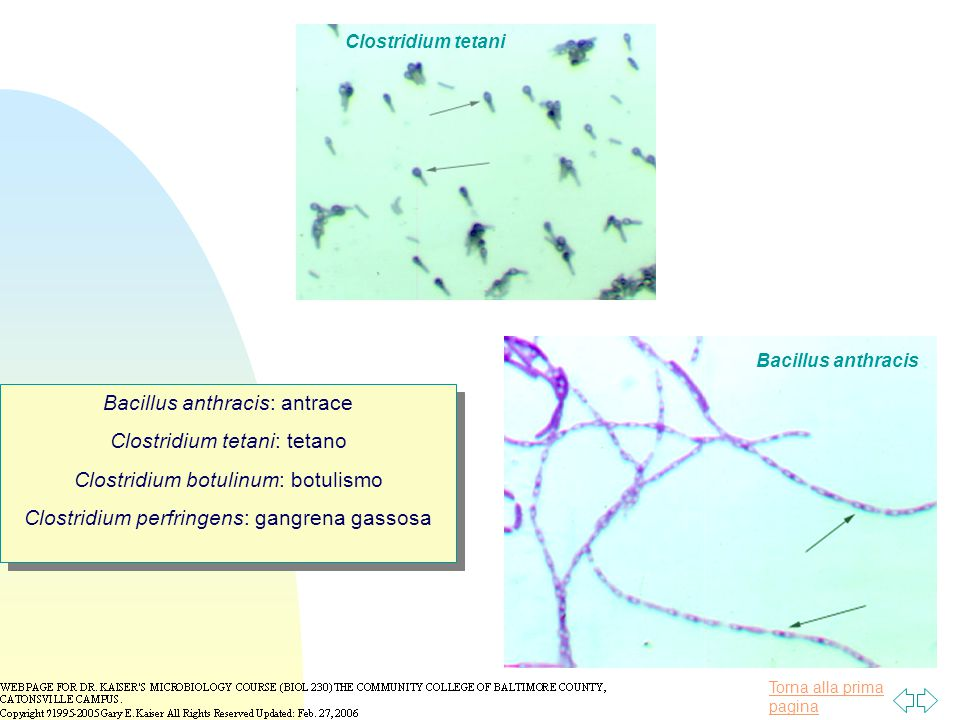 Bacillus anthracis: antrace Clostridium tetani: tetano