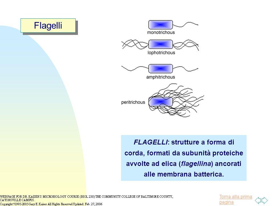 Flagelli FLAGELLI: strutture a forma di corda, formati da subunità proteiche avvolte ad elica (flagellina) ancorati alle membrana batterica.