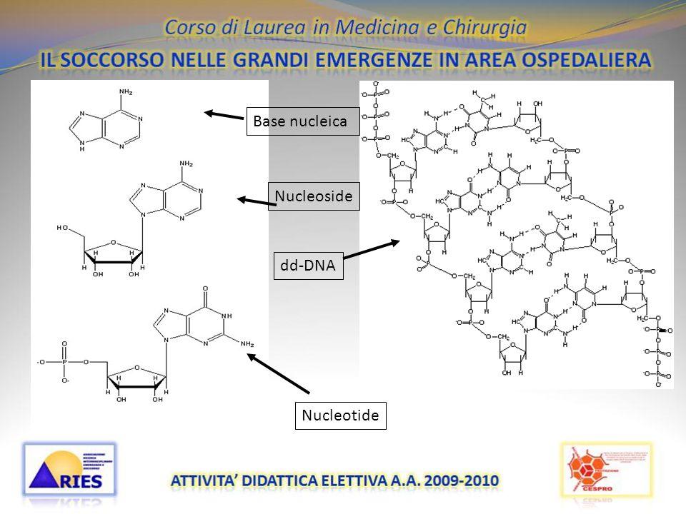 Base nucleica Nucleoside dd-DNA Nucleotide 20/11/09