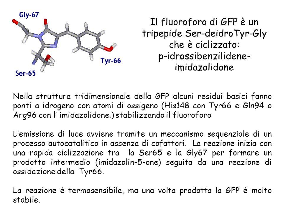 Il fluoroforo di GFP è un tripepide Ser-deidroTyr-Gly