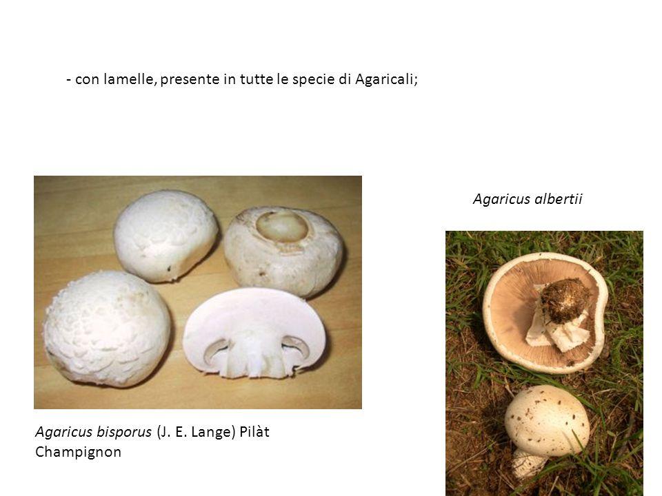 - con lamelle, presente in tutte le specie di Agaricali;