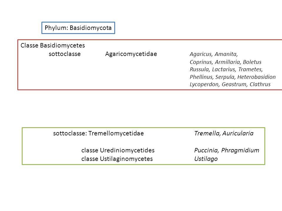 Phylum: Basidiomycota