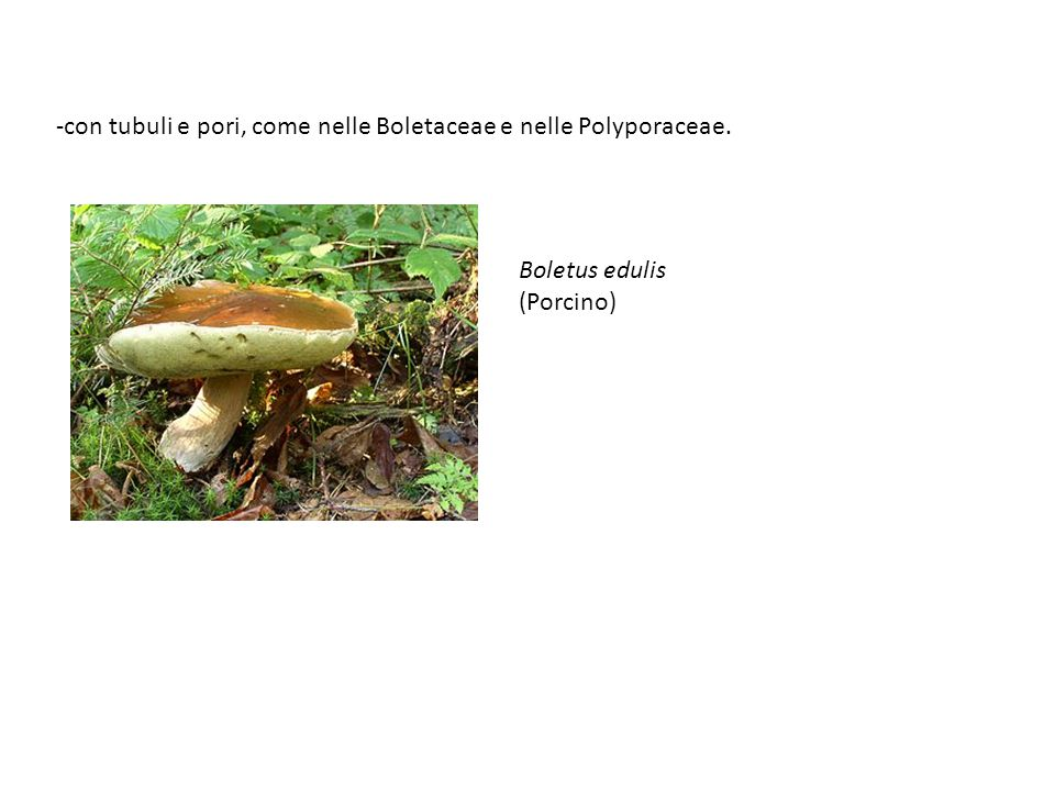 con tubuli e pori, come nelle Boletaceae e nelle Polyporaceae.