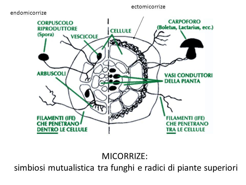 simbiosi mutualistica tra funghi e radici di piante superiori