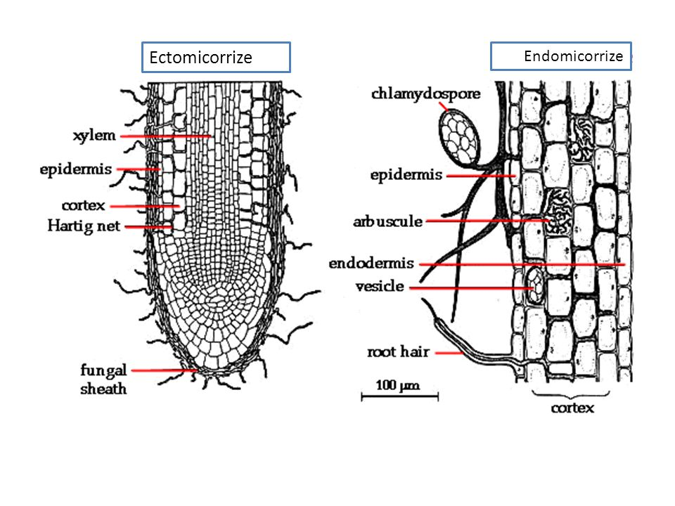 Ectomicorrize Endomicorrize