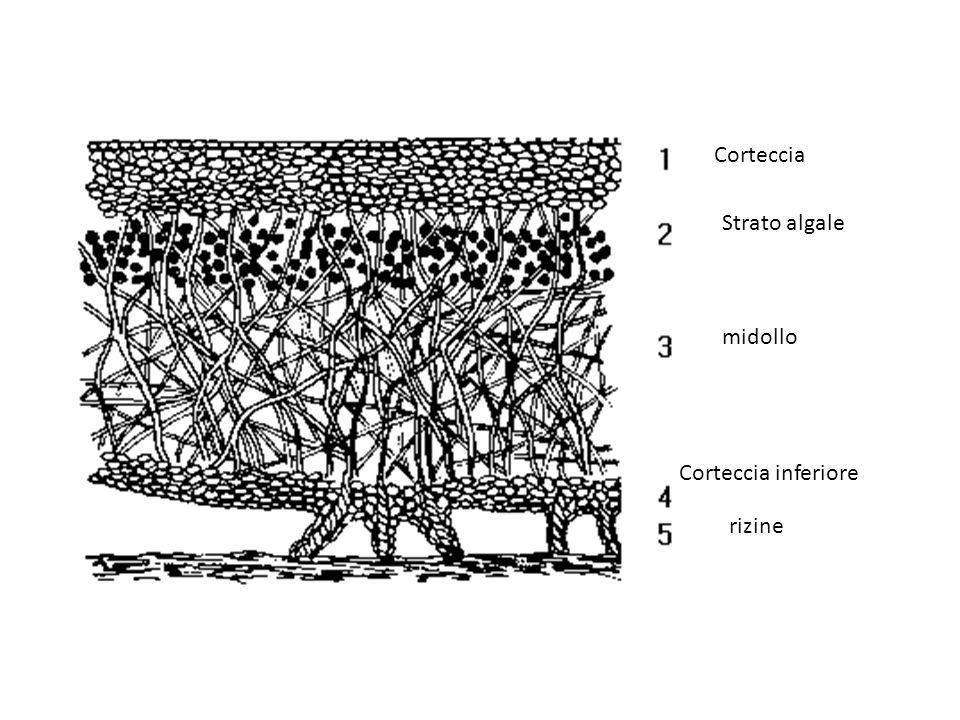 Corteccia Strato algale midollo Corteccia inferiore rizine