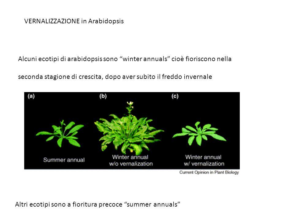 VERNALIZZAZIONE in Arabidopsis