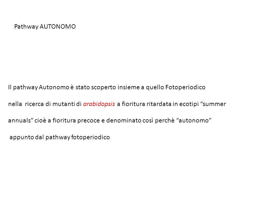 Pathway AUTONOMO Il pathway Autonomo è stato scoperto insieme a quello Fotoperiodico.