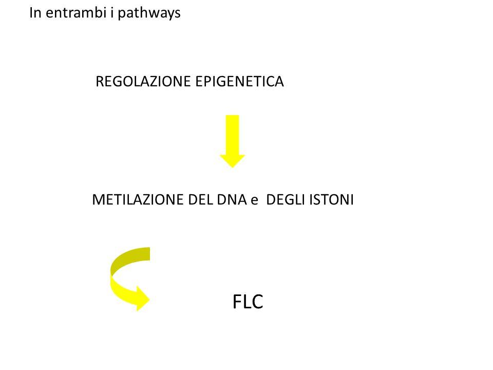 In entrambi i pathways REGOLAZIONE EPIGENETICA METILAZIONE DEL DNA e DEGLI ISTONI FLC