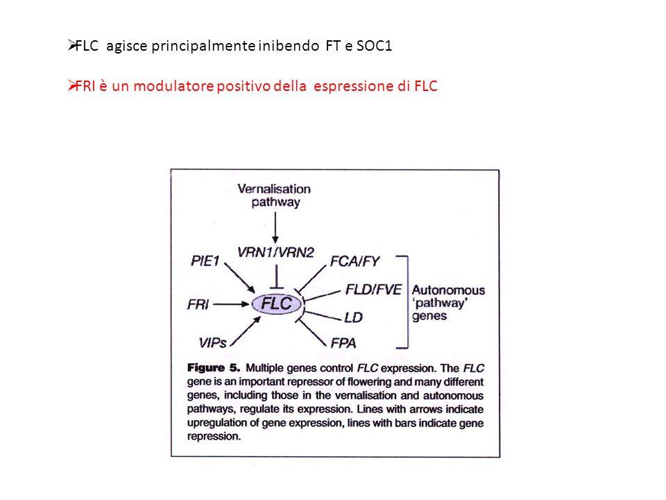 FLC agisce principalmente inibendo FT e SOC1