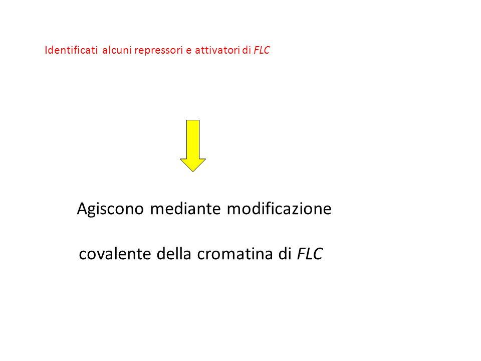 covalente della cromatina di FLC