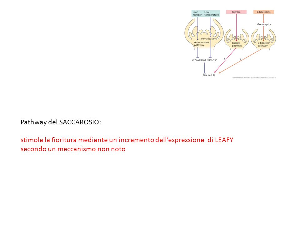 Pathway del SACCAROSIO: