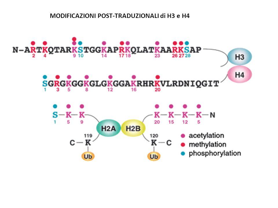 MODIFICAZIONI POST-TRADUZIONALI di H3 e H4